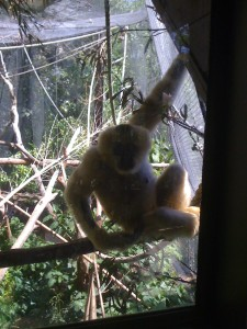 gibbon staring through glass at camera