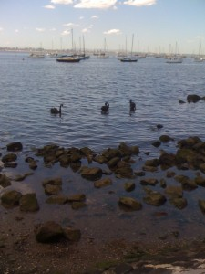 three black swans in harbour